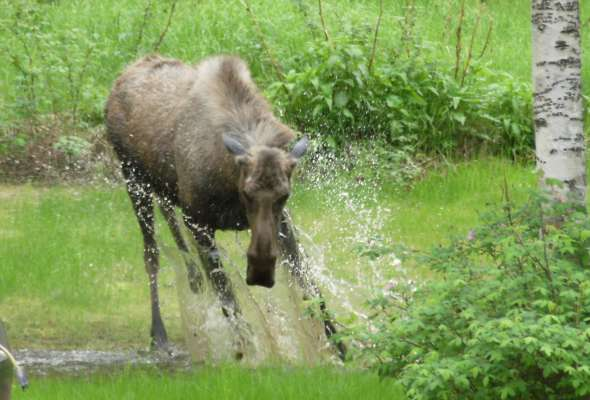 Moose In Pond 2